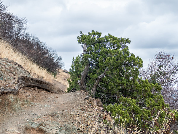 This juniper continues to thrive ... but the burned out shrubs and tree didn't fare so well.
