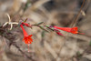 Epilobium canum (California fuchsia).  Another familar fall bloomer.