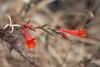 Epilobium canum (California fuchsia).  Another familar fall bloomer.