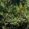 Hesperocyparis sargentii (Sargent cypress).