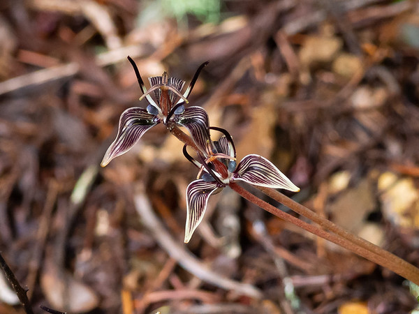 "Scoliopus bigelovii.  The elegantly marked and shaped ""falls"" are really sepals.  The petals are the spikes pointing up.  The whole thing is about 1"" wide.   But this superb flower has an ugly common name: Fetid Adder's tongue.  February 10, 2014.  Cataract Trail.  Mt. Tamalpais."