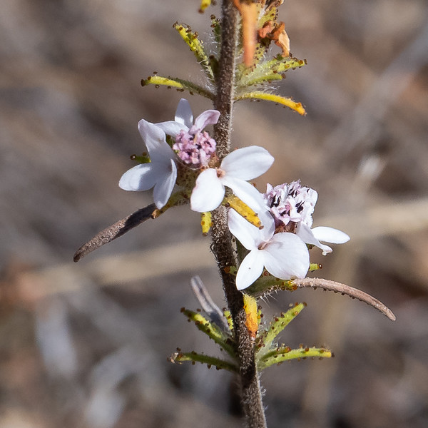 Calycadenia multiglandulosa (sticky western rosin weed) near Rock Springs.