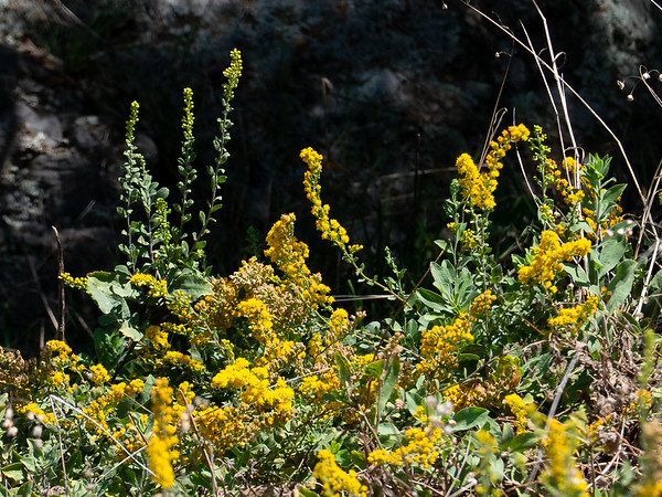 Solidago sp. in a seep along the Coastal Trail.  Kind of a scraggly array.