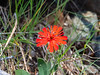 Silene laciniata ssp. californica (California Indian pink).   Mt. Tamalpais, Simmons Trail, June 22, 2014.