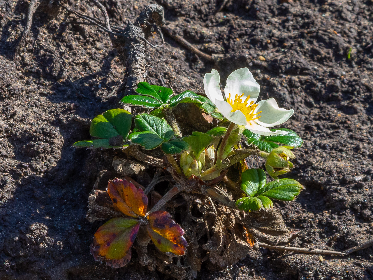 Fragaria chiloensis (Beach strawberry).  This was on a washed-out hillside on the way from the bluff down to the beach.  Pt. Reyes National Seashore, February 16. 2014.