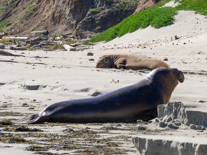 The far elephant seal turned his head just a little to see what was going on.