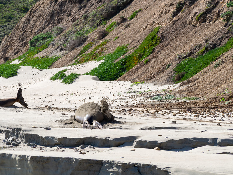A covering of sand finishes the effort.  Elephant seal sunsceen?