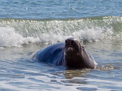 Point Reyes: Elephant Seals and Others - February 16 2014