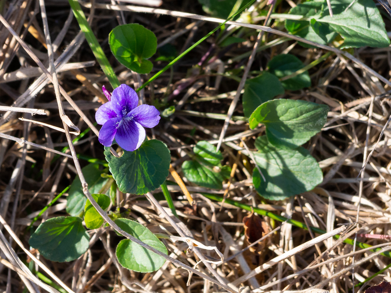 Viola adunca (western dog violet).  Just a good picture of a common plant.  Pt. Reyes National Seashore, February 16. 2014.
