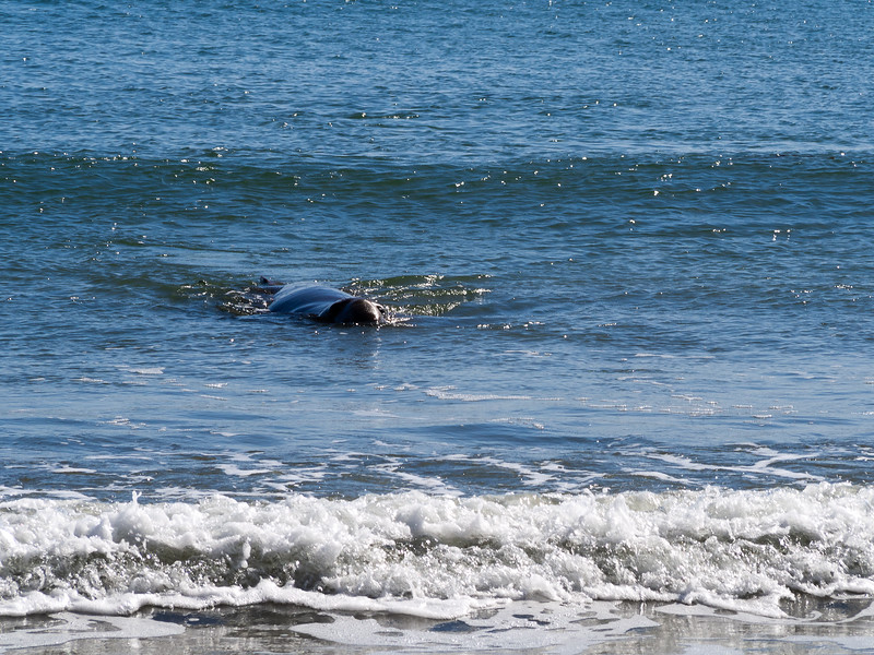Minutes later, I got the real treat of the the day: an elephant seal swimming in.