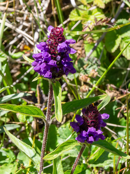 Prunella vulgaris (common self heal).