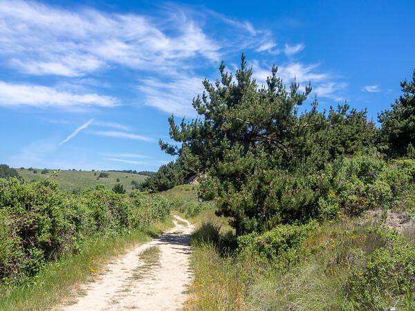 Pinus muricata  (Bishop pine).  Muddy Hollow Road near Limantour Beach.