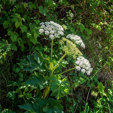 Heracleum maximum  (common cow parsnip).