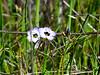 Gilia tricolor (birds's eye gilia).