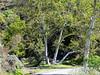 "Platanus racemosa (California sycamore).  Sunol's ""W"" Tree."