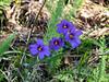 Sisyrinchium bellum (western blue-eyed grass).