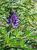 Lupinus sp., possibly L. succulentus (Arroyo lupine).