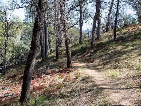 Pedicularis densiflora (Indian Warrior) carpeted the hillside leading down to Baton Flat.