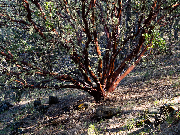 Arctostaphylos manzanita (common manzanita) is a guess based on the location, size, and no visible burl at the bottom.  Without a better view of some of the details, though, that's a pretty soft guess.  In any case, a colorful manzanita on the last descent into Wilson Valley.