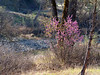 Cercis occidentalis (Redbud).  This is the Redbud Trail, but the redbuds were scraggly in this dry year.  This one, at the south end of Wilson Valley, next to Cache Creek, was the best I saw.