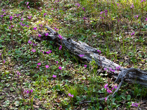 Primula hendersonii (foothill shooting star).  Swaths and swaths of them.