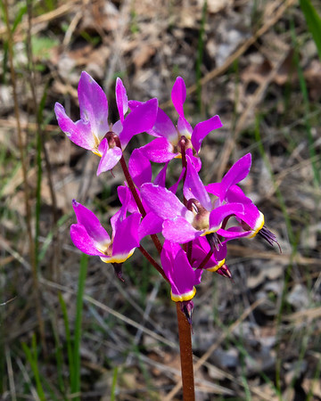 Primula hendersonii (Foothill shooting star).  The area looked dry but these were all over the forest floor, in patches, from the trailhead to Wilson Valley.