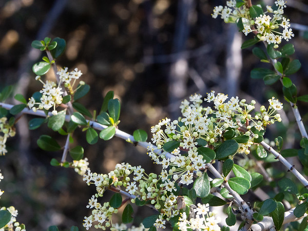 Ceanothus cuneatus var. cuneatus (Buck brush).  Only a few plants had flowers out.  Most were in bud.  This last section of the hike had more shrubby sections and fewer open forests than before.