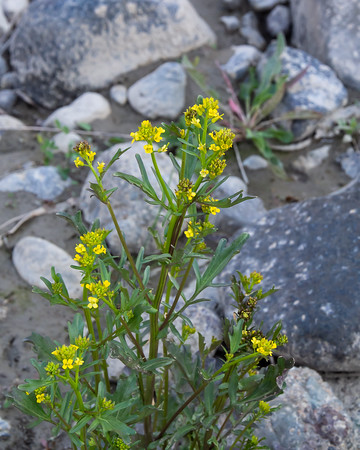 Barbarea verna (early winter cress) at Jack Canyon, right by Cache Creek.  Eurasian.