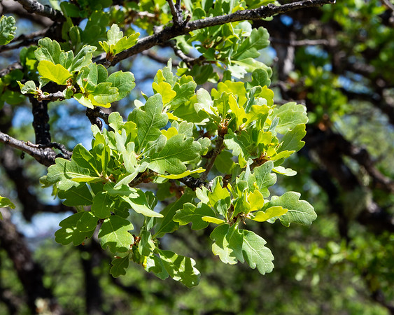Quercus douglasii (Blue oak) just leafing out.