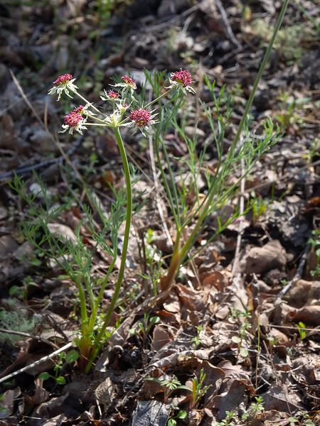 Lomatium marginatum var. purpureum (Jepson's lomatium).  Not showy, but these were all over too.