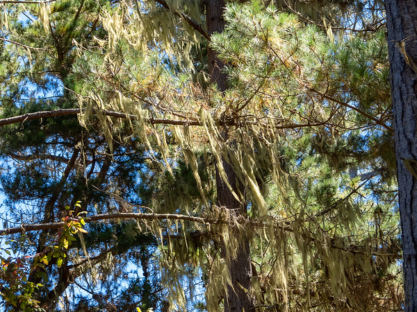 Ramalina menziesii (lace lichen or Spanish moss).  I concluded my hike on the well-named Lace Lichen Trail.