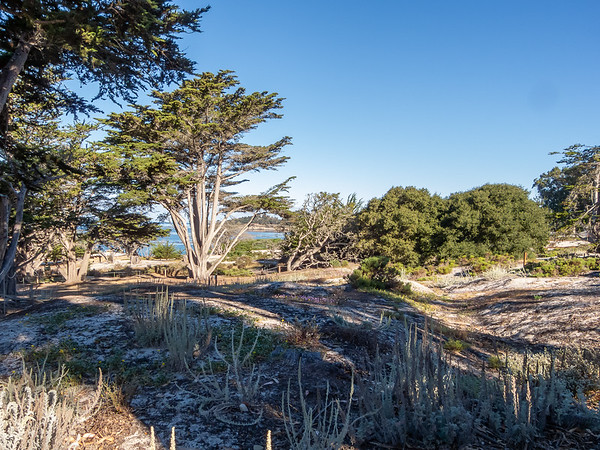 Wednesday, July 23.  A sunny morning -- unusual in Carmel -- at Carmel Beach.  This is the North Dunes habitat restoration area, with a few in-bloom native beach flowers.