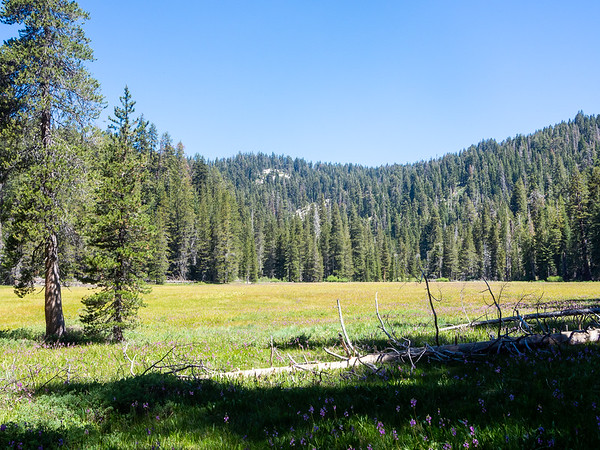 "Cahoon Meadow.  Lodgepole pines now.  And look close for the pink Jeffery's shooting stars in the grass.  This is a moist meadow, and ""moist"" means I'm now in mosquito country."