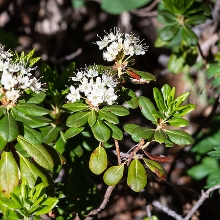Rhododendron columbianum (western Labrador tea).  These too were all over, but many -- not these -- were finishng.