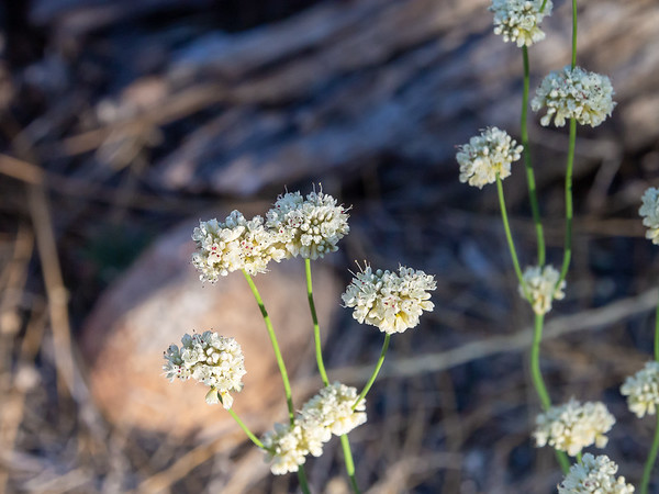 Eriogonum nudem (naked buckwheat) near camp.  This tall species was all over the drier low and mid elevation parts of the hike, including lots, like these, on a flat just above Sugarloaf Creek.