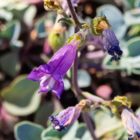 Penstemon caesius  (San Bernardino beardtongue).
