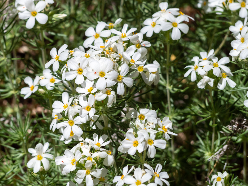 Leptosiphon pachyphyllus (Sierra linanthus), based largely on location, but I don't have any immediate alternatives. And find the cute bug.
