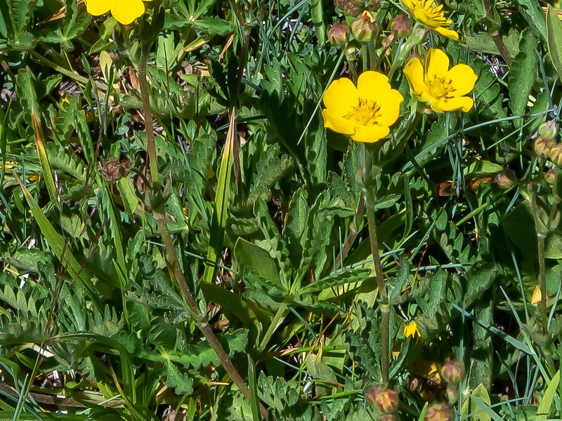 Potentilla gracilis (slender cinquefoil).  The identification is based more on these folded palmately compound leaves than the flowers.