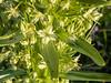 Frasera speciosa (monument plant) up close.