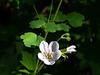 Geranium richardsonii  (Richardson's geranium).  Just below camp.
