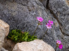 Primula suffrutescens (Sierra primrose).  I was hoping to find some up here.