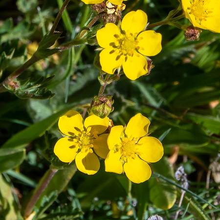 Potentilla gracilis (slender cinquefoil).  The identification is based in part on the folded palmate compound leaves (separate picture).