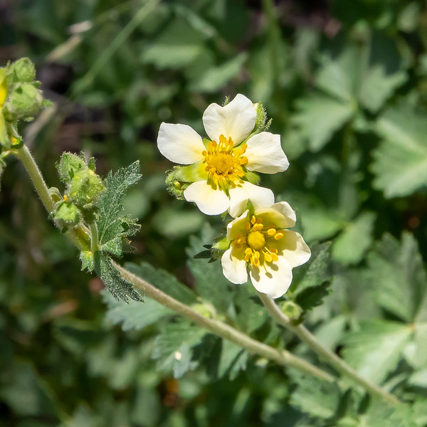 Drymocallis glandulosa  (sticky cinquefoil).  The species is identifiable because of the long sepals sticking out.