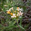Collomia grandiflora  (mountain collomia) on the warm south-facing switchbacks that were my last pitch today.