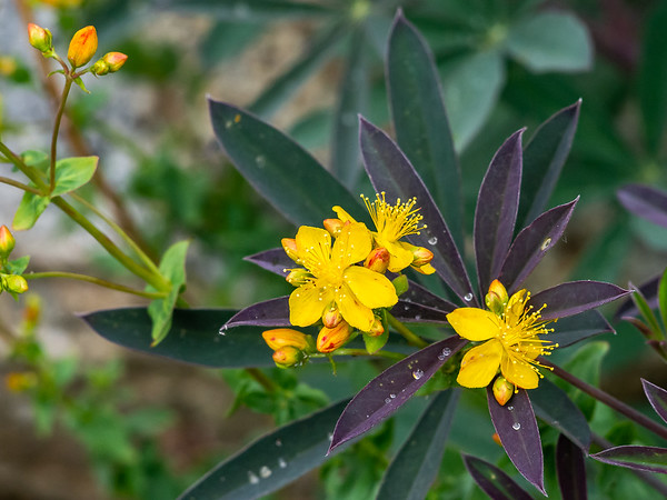 Hypericum scouleri (Scouler's St John's Wort).  Nicely backed up by a lupine leaf.
