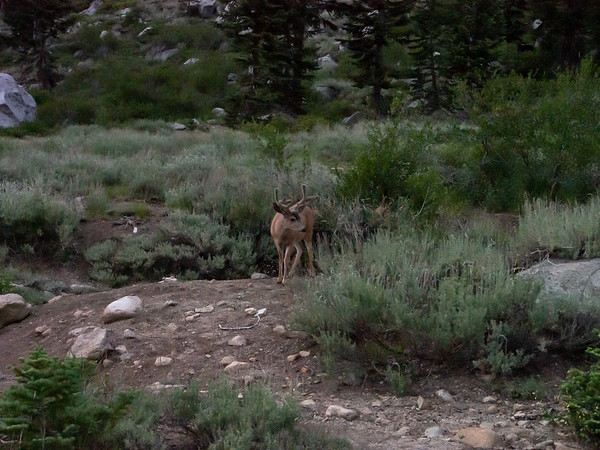 This buck came around after sunset.  I count 8 points, in velvet.  One of many I saw tonight.