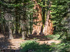 """Into the Giant Forest.  The """"Giants"""" are Sequoidendron giganteum."""
