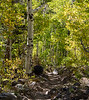 Populus temuloides (quaking aspen).  More color.  Only a 1/4 mile from the trailhead now.