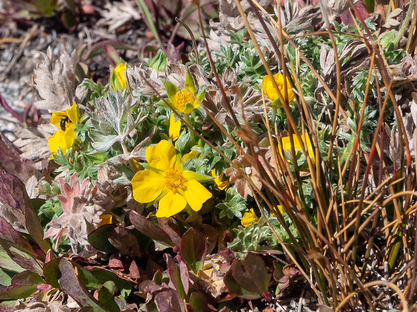 Potentilla brewerii (Brewer's cinquefoil), maybe.  About a mile below the pass.