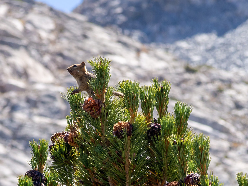 We made camp near Lower Golden Trout in the same spot as Monday.  A golden-mantled ground squirrel was working the whitebark pine cones when we arrived.
